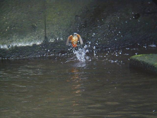 カワセミのダイビング6
